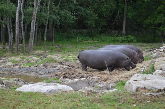 hippopotames_thoiry