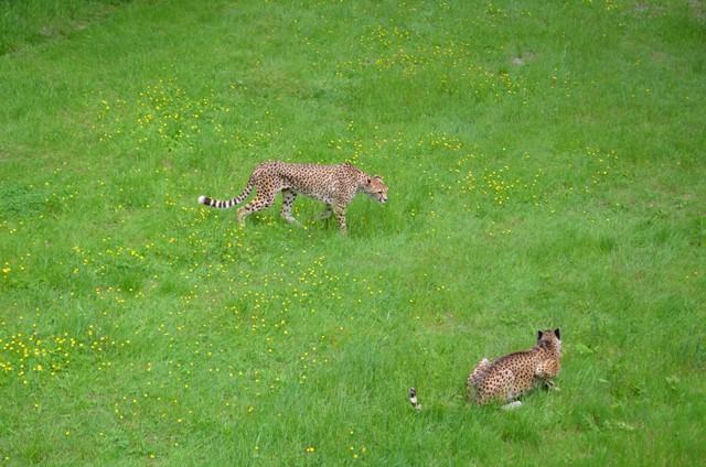 guepards